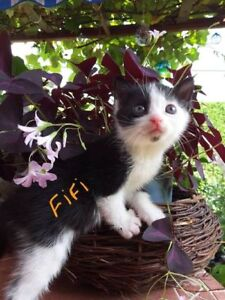 "Baby Female Cat - Domestic Short Hair: ""Fifi"""