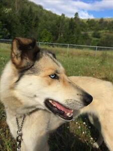 "Adult Female Dog - Husky-Greyhound: ""Sadie"""