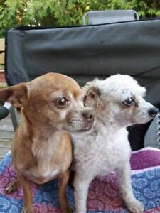 """Adult Female Dog - Chihuahua-Poodle: """"Coco and Teddy"""""""