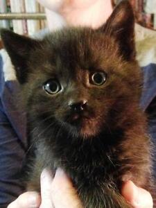 "Baby Male Cat - Domestic Short Hair-black: ""*Malcom"""