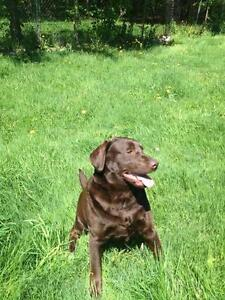 "Adult Male Dog - Chocolate Labrador Retriever: ""Boomer"""
