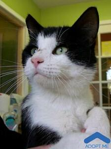 """Adult Male Cat - Domestic Short Hair: """"Henry"""""""