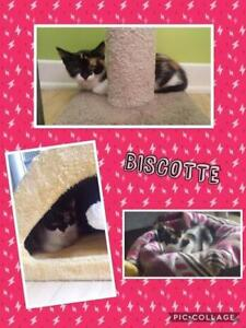 """Baby Female Cat - Domestic Short Hair: """"Biscotte"""""""