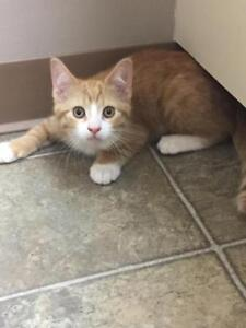 """Baby Male Cat - Domestic Short Hair: """"Fritz"""""""