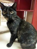 "Young Female Cat - Tortoiseshell-Domestic Short Hair: ""Min"""