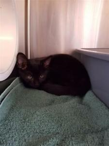 "Baby Male Cat - Domestic Short Hair: ""Widget"""