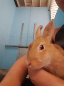"""Young Female Rabbit - Dutch-Dwarf: """"Freckle"""""""