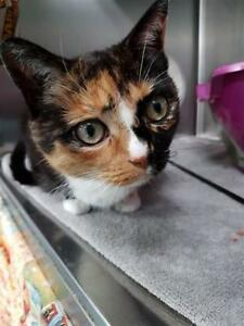 "Adult Female Cat - Domestic Short Hair: ""Curly"""