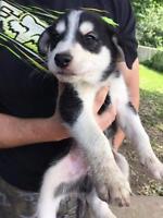 "Baby Male Dog - Alaskan Malamute-Labrador Retriever: ""Radar"""