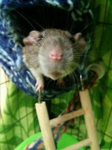 """Young Female Small & Furry - Rat: """"Carly"""""""