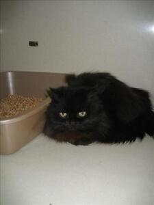 "Adult Male Cat - Domestic Long Hair: ""Winston"""