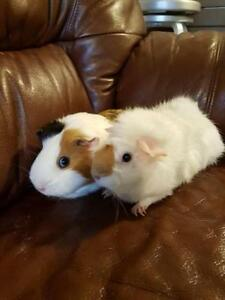 """Young Female Small & Furry - Guinea Pig: """"Spice"""""""