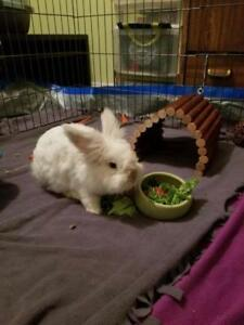 "Adult Male Rabbit - Himalayan-Lionhead: ""Nugget"""