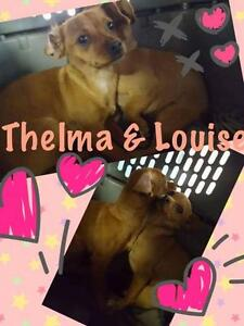 "Baby Female Dog - Chihuahua: ""Thelma & Louise"""