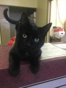 """Young  Cat - Domestic Short Hair: """"Ace (Intake#2016-88)"""""""