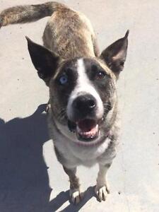 """Adult Female Dog - Shepherd-Husky: """"Reese"""""""
