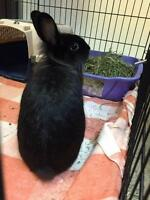 """Young Male Rabbit - Lionhead: """"Panther"""""""