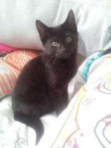 "Adult Female Cat - Domestic Short Hair-black: ""Vega"""