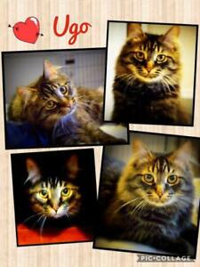 "Young Male Cat - Domestic Medium Hair: ""Ugo"""