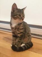 "Baby Male Cat - Domestic Short Hair: ""Moush"""