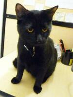 "Adult Male Cat - Domestic Short Hair-black: ""Merton"""