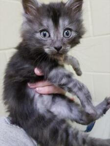 "Baby Male Cat - Domestic Long Hair: ""Seamus *adoption Pending"""