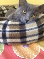 """Young Male Cat - Domestic Short Hair-gray: """"Triton"""""""