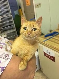 Adult Female  - Domestic Short Hair (Orange)-Tabby (Orange)