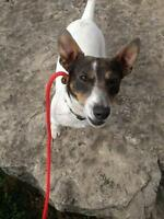 "Adult Male Dog - Jack Russell Terrier: ""THE ENERGIZER BUDDY"""