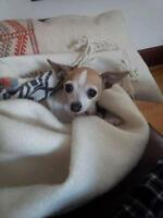 "Senior Female Dog - Chihuahua-Rat Terrier: ""Ginger"""