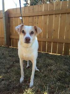 """Adult Male Dog - Jack Russell Terrier-Whippet: """"Scout"""""""