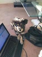 "Baby Female Dog - Labrador Retriever-Poodle: ""Cinnamon"""