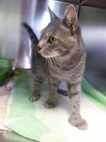 "Adult Male Cat - Domestic Short Hair-Tabby: ""George"""