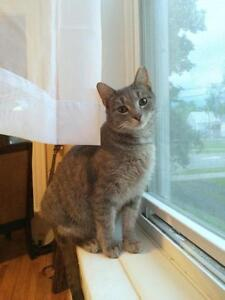 "Adult Female Cat - Tabby - Grey: ""Lady Grey"""