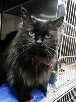"Senior Female Cat - Domestic Long Hair-black: ""Tammy"""
