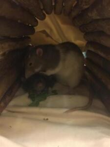 "Young Male Small & Furry - Rat: ""Stimpy"""