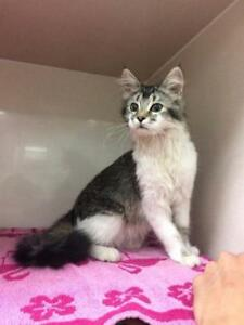 "Young Female Cat - Domestic Long Hair: ""Lazers"""