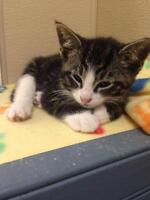 "Baby Male Cat - Domestic Short Hair: ""O'Malley"""