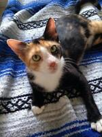 "Young Female Cat - Domestic Short Hair: ""Penny"""