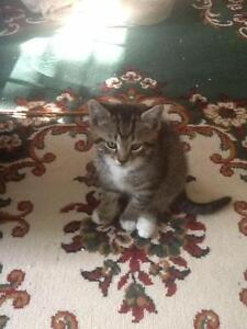 "Young Female Cat - Domestic Short Hair - brown: ""Misty"""