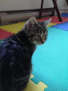 "Young Female Cat - Tabby - black: ""Roger"""