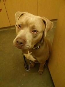 """Adult Male Dog - Pit Bull Terrier: """"Ghost"""""""