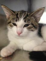 "Young Male Cat - Domestic Short Hair: ""Edwin"""