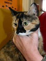 """Young Female Cat - Domestic Short Hair: """"BB"""""""