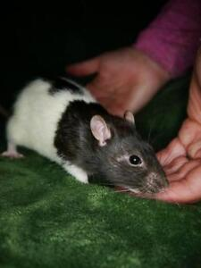 """Young Male Small & Furry - Rat: """"Armani"""""""