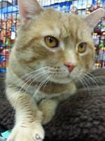 """Adult Male Cat - Domestic Short Hair: """"Christopher"""""""