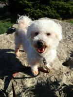 "Senior Male Dog - Bichon Frise-Poodle: ""SPUNKY LITTLE SHADOW"""