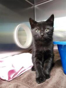 "Baby Male Cat - Domestic Short Hair: ""Brad"""