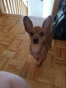 "Young Male Dog - Chihuahua: ""Paco"""