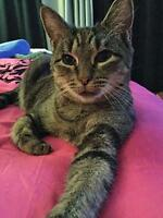 """Adult Female Cat - Domestic Short Hair-gray: """"Trixie"""""""